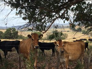 Cows at Tulampanga, Mole Creek